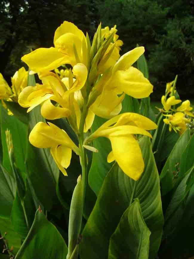 Hello Yellow canna
