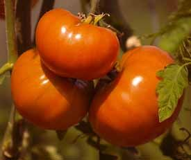 Guidelines for growing perfect tomatoes