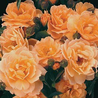 What a Peach™ Shrub Rose | ROSA (Rose). | Pinterest