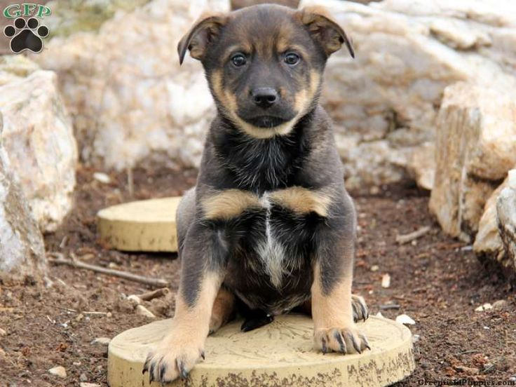 Red heeler german shepherd lab mix