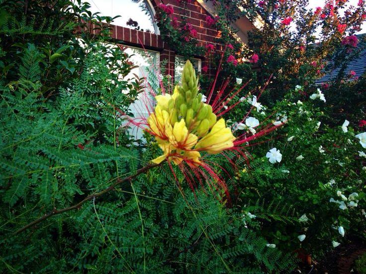 bird of paradise tree unusual plants flowers pinterest. Black Bedroom Furniture Sets. Home Design Ideas