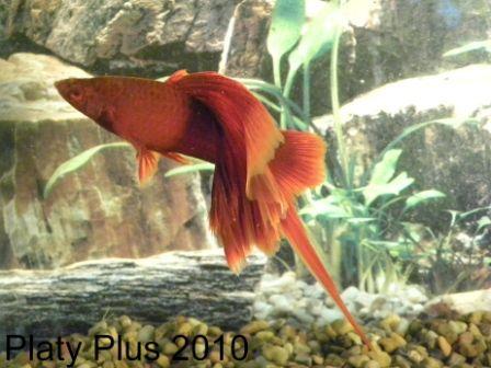 Hifin Swordtail Aquarium Fish Pinterest