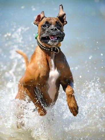boxer running through water