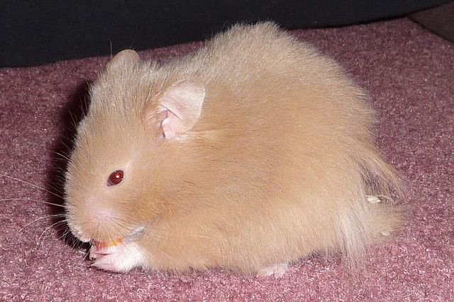 Long Haired Teddy Bear Hamsters