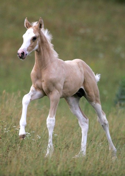 how to get a palomino foal