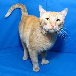 is an adoptable Tabby - Orange Cat in Springfield  IL  POLYDACTYLOrange Polydactyl Cat