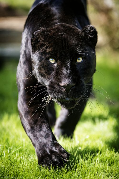 Black Jaguar Animal Running