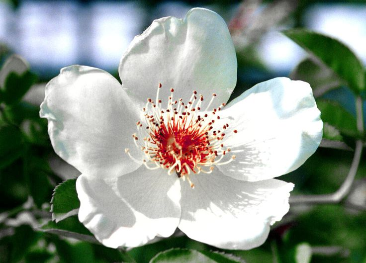north carolina s state flower dogwood art ideas pinterest