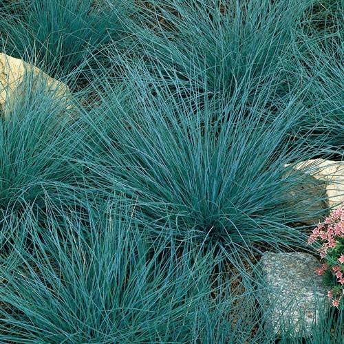 FESTUCA GLAUCA ELIJAH BLUE | Garden plants | Pinterest