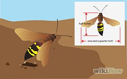 Get Rid of Ground Digger Wasps (Cicada Killers) from Your Lawn