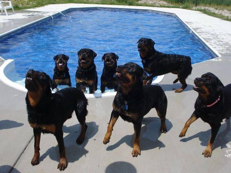 Rottweilers, Swim Team jpg (736×552) | Rotties, Dobes, Shepherds ...