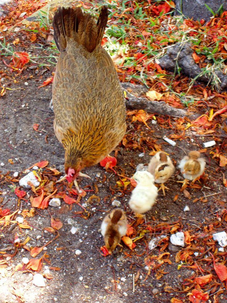 key west chickens - Google Search | Key West..... Take me back | Pint ...