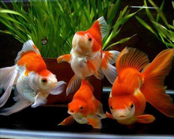 Fancy goldfish fish pinterest for The fancy fish