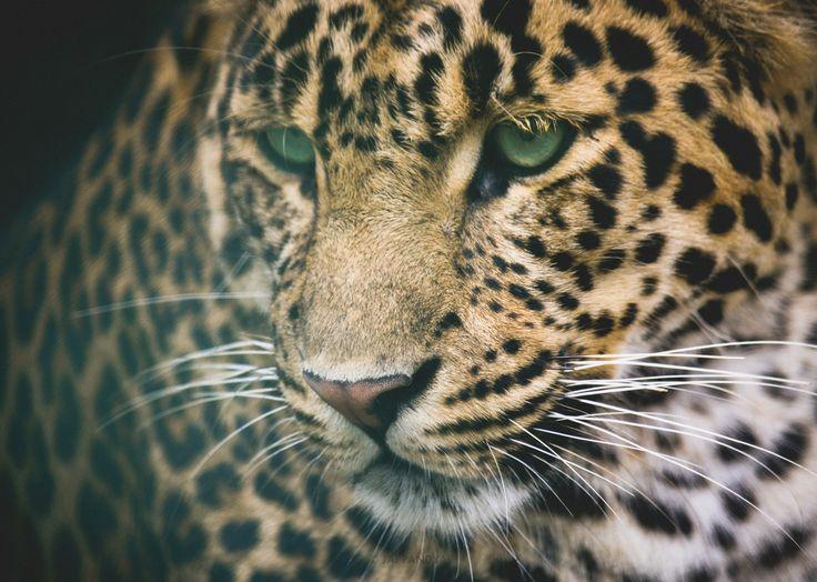 Himalayan leopard - photo#2