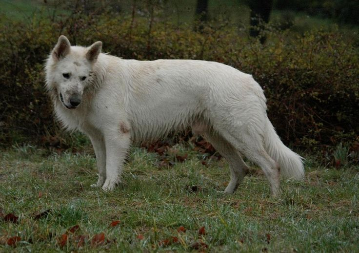 Pin by Darren Driscoll on Berger Blanc Suisse | Pinterest