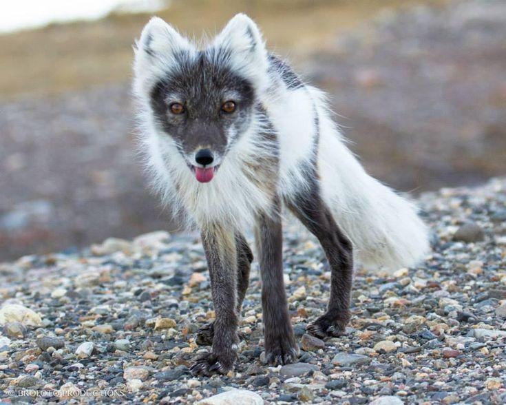 Arctic Fox Color 28 Images Arctic Fox Arctic Fox