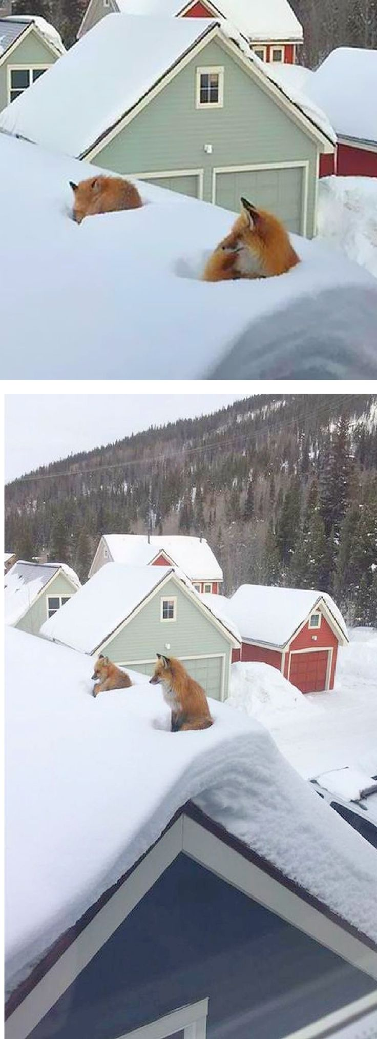 AMAZING !!!! Two FOXES On the ROOF….  #photo by by Stella Muir on boredpanda.com