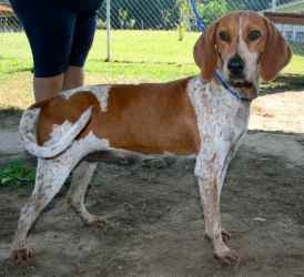 Freckles is an adoptable German Shorthaired Pointer Dog in Chipley, FL ...