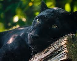 black panther animal - Google Search