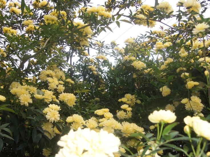 yellow rose bush | Favorite Flowers | Pinterest