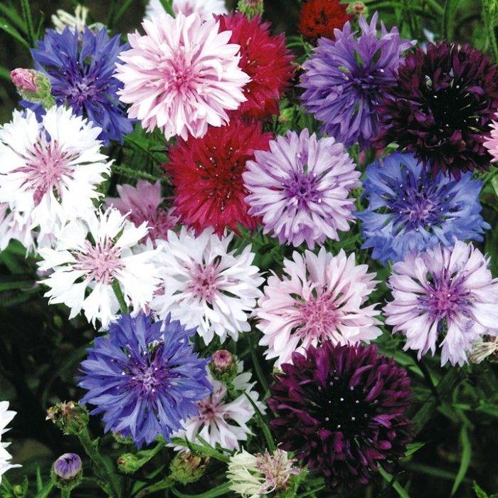 Васильки садовые фото цветов - 298