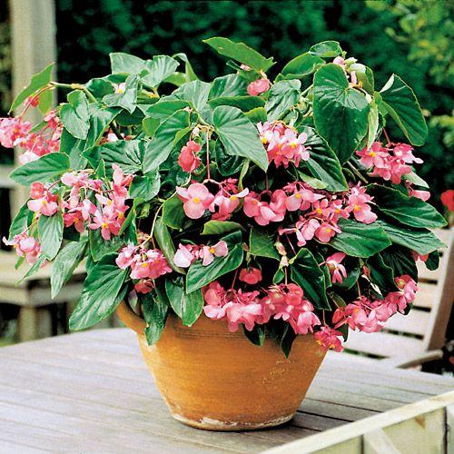 Begonia Dragon Wing Pink Container Gardening Pinterest