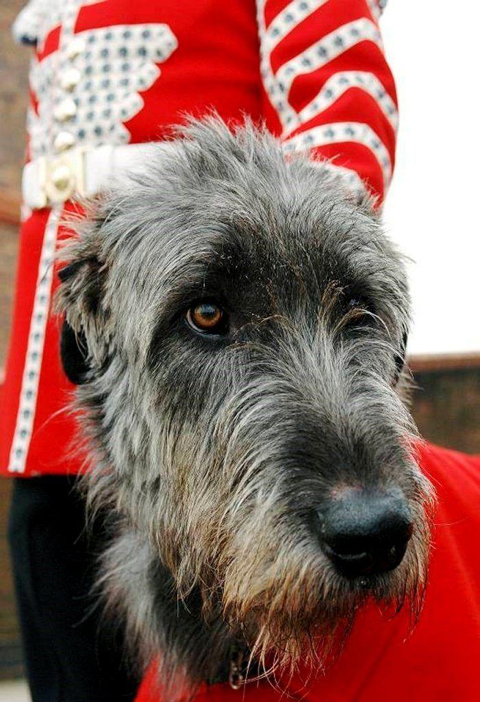 L'Irish Wolfhound Bd29347a023e16e8b813833f00f906bf