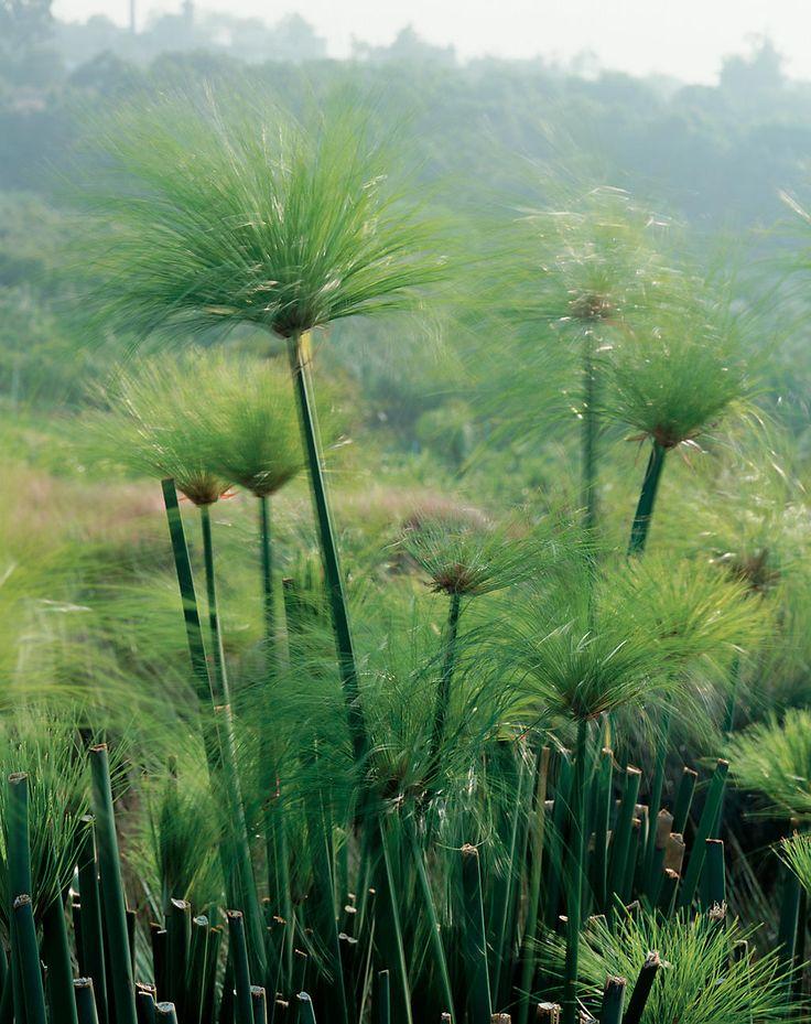 dwarf papyrus cyperus prolifer grass pinterest. Black Bedroom Furniture Sets. Home Design Ideas