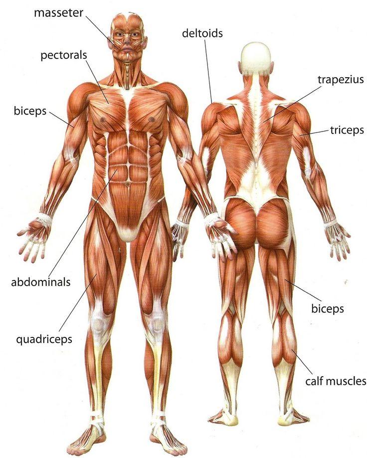 Human Muscles Diagram For Kids Crazywidowfo