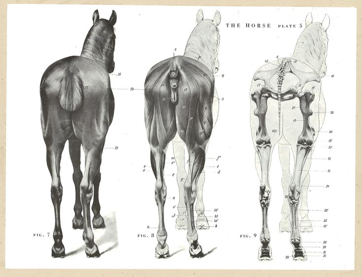 Female horse anatomy
