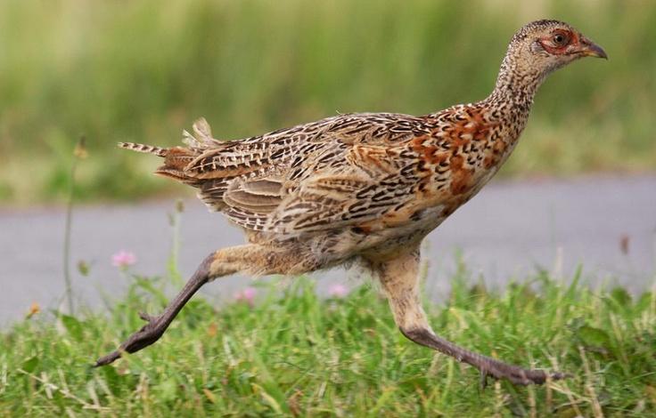 Ring-necked Pheasant |...