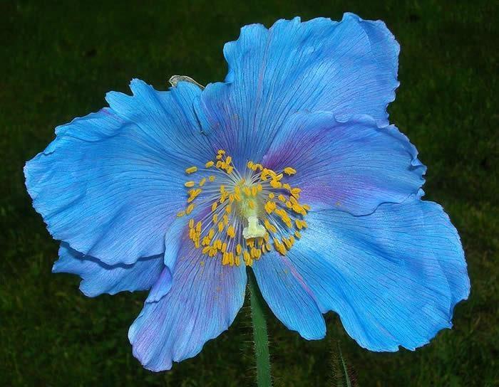 Blue poppy blue plants amp flowers pinterest