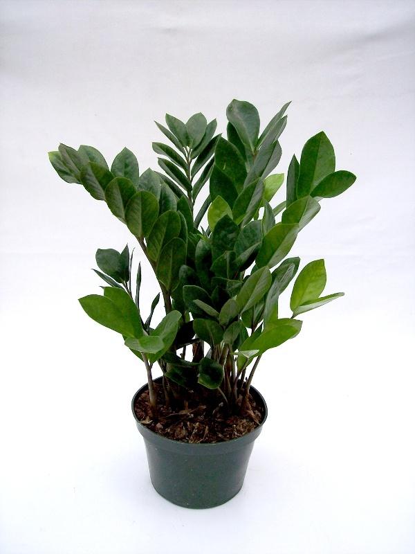 Zamioculcas zamiifolia zz plant house plants pinterest for Plante zamioculcas