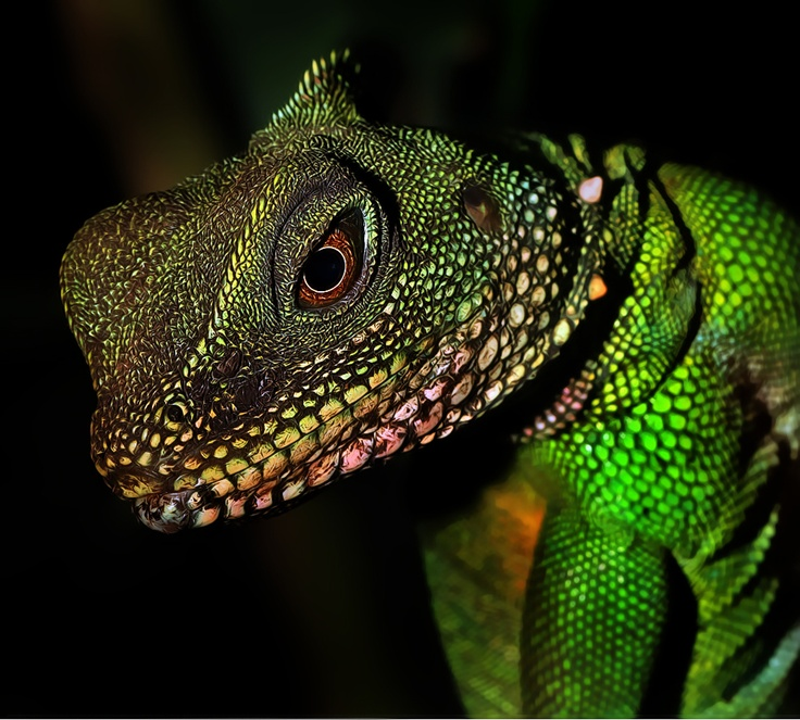 Chinese water dragon | About me :-) | Pinterest