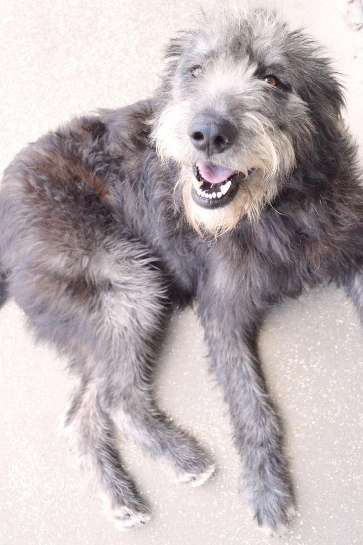 Irish wolfhound poodle mix