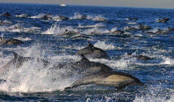 Mega pod of dolphins - photo#3