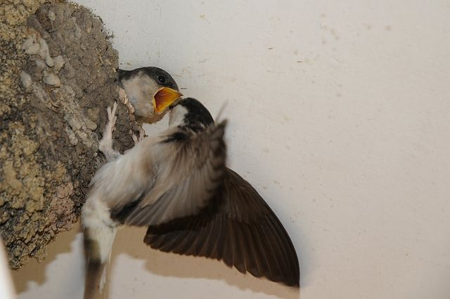 how to stop birds building nests in eaves