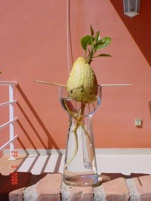 Planta de aguacate hortalizas pinterest for Como cultivar aguacate