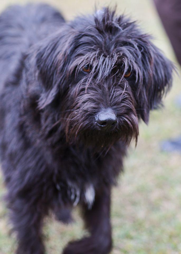 ... Female - Black Russian Terrier/Bouvier des Flanders mix - Stuart, VA