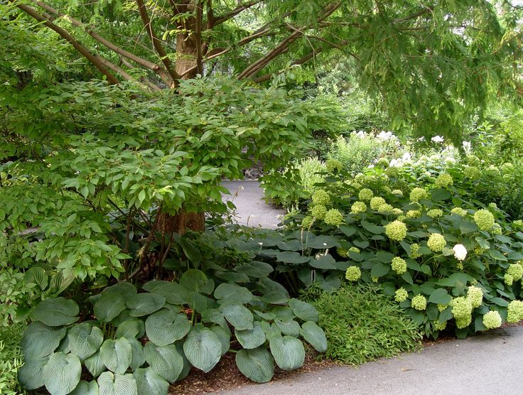 Green hydrangea for shady bit by bbq wood shed bed for Garden designs with hydrangeas