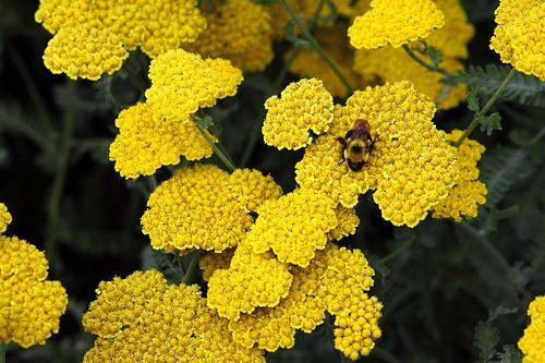 Yellow YarrowYellow Yarrow Flower
