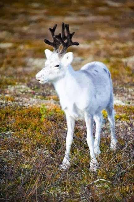 Baby reindeer animals pinterest