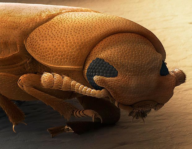 the head of a red flour beetle (Tribolium castaneum)