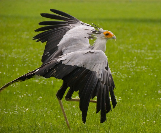 secretary bird (stomps its prey to death!)