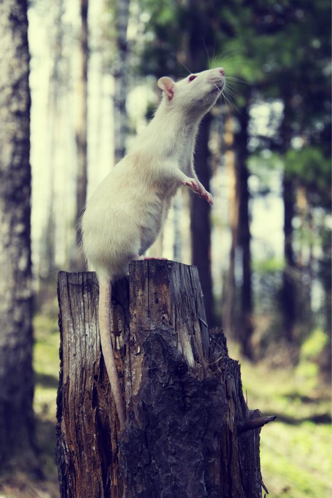 I don't care what people say, rats are not disgusting, they are beautiful, friendly, intelligent little creatures