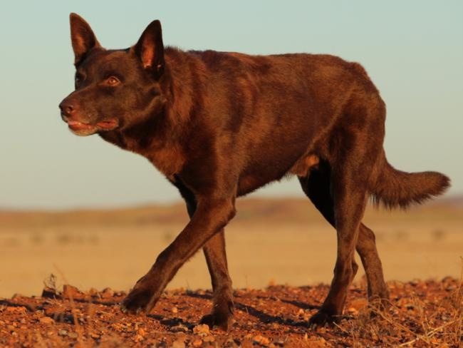 feminism in red dog red dog View dog breeds with solid red coats use this page to get an idea of what solid red dogs look like note about solid red dogs a dog can still be considered solid red even if their paws, face, chest, and/or tail have small patches of non-red coloring.