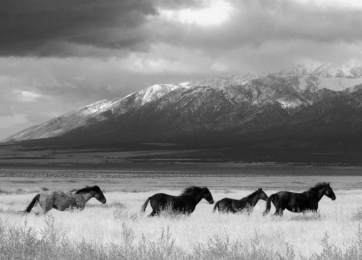 Chevaux sauvages dans l'Utah