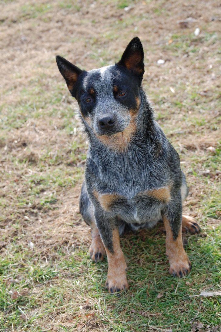Blue Heeler   All Herding Dogs   Pinterest