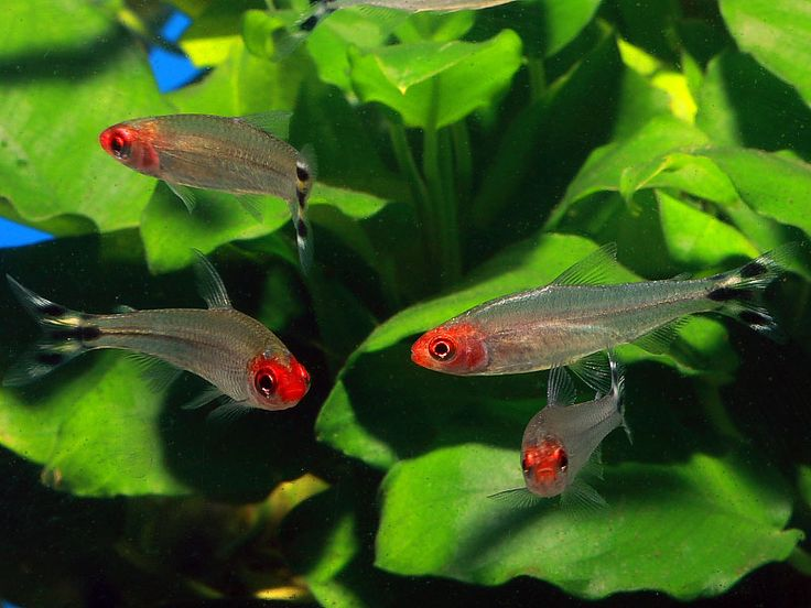 Pin by barb quent on fresh water fish pinterest for Freshwater schooling fish