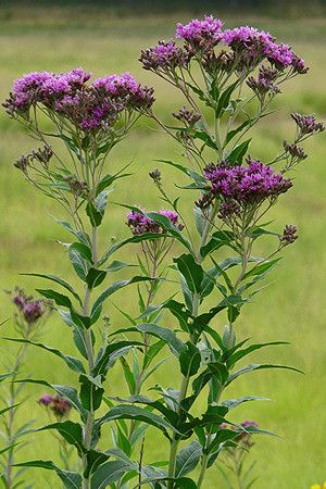 Ironweed vernonia fasciculata chicago 39 s native plants pinterest - Flowers native to greece a sea of color ...